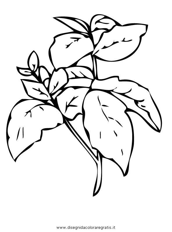 Disegno basilico alimenti da colorare for Salvia da colorare