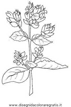 Disegno origano alimenti da colorare for Salvia da colorare