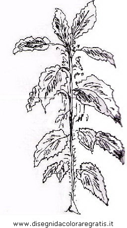 Disegno ortica alimenti da colorare for Salvia da colorare