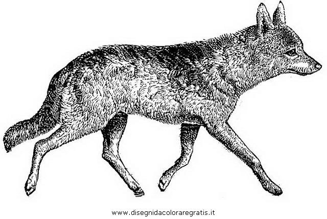 animali/animalimisti/sciacallo_01.JPG