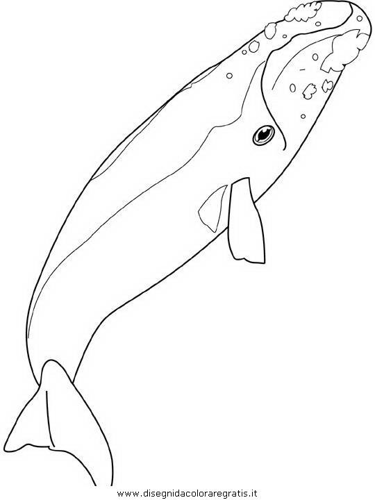 animali/balene/balena_balene_21.JPG