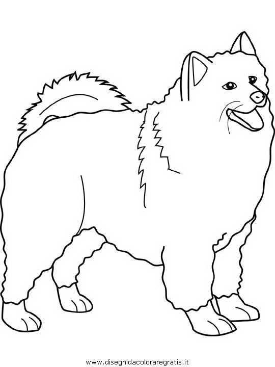 animali/cani/samoyed.JPG