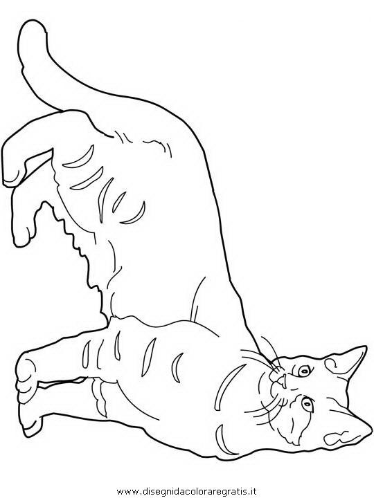 animali/gatti/Pixie-Bob.JPG