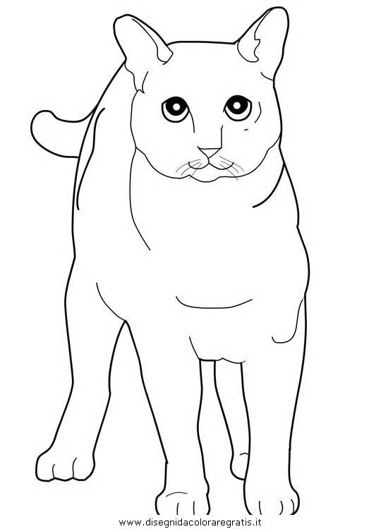 animali/gatti/Tonkinese.JPG