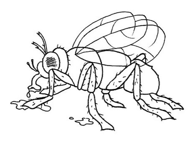 animali/insetti/mosca_moscone.jpg