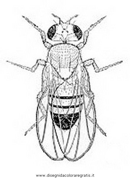 animali/insetti/moscerino2.JPG