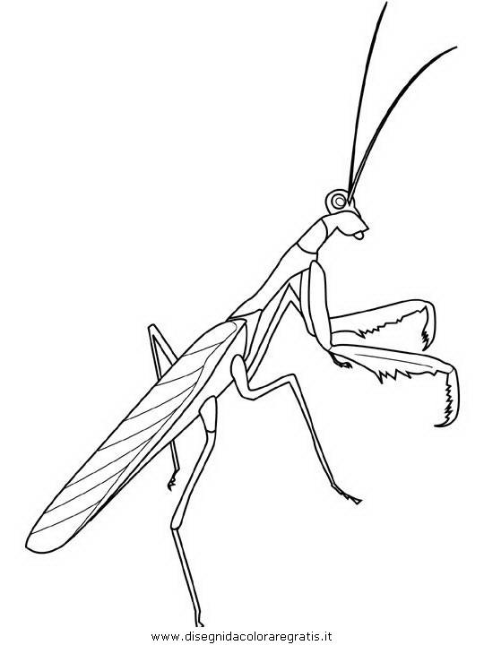 animali/insetti/praying-mantis.JPG