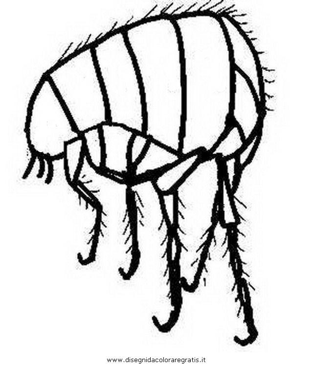 animali/insetti/pulce_pidocchio_2.JPG