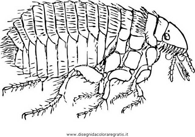 animali/insetti/pulce_pidocchio_3.JPG