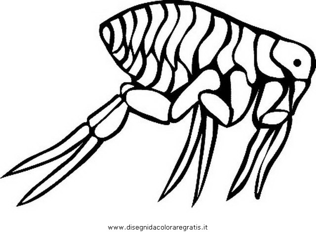 animali/insetti/pulce_pidocchio_5.JPG