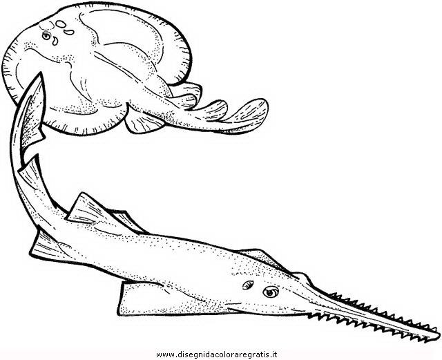 animali/pesci2/torpedine_02.JPG