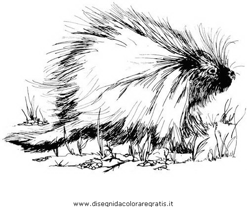 animali/roditori/istrice_porcospino_11.JPG