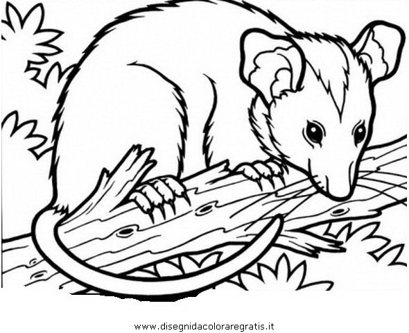 animali/roditori/opossum_1.JPG