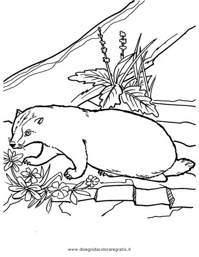 animali/roditori/tasso_tassi_badger_04.JPG