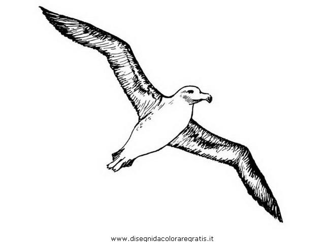 animali/uccelli/albatros_01.JPG