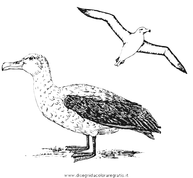 animali/uccelli/albatros_03.JPG