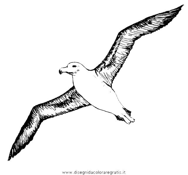 animali/uccelli/albatros_04.JPG