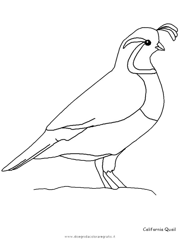 animali/uccelli/californiaquail.JPG