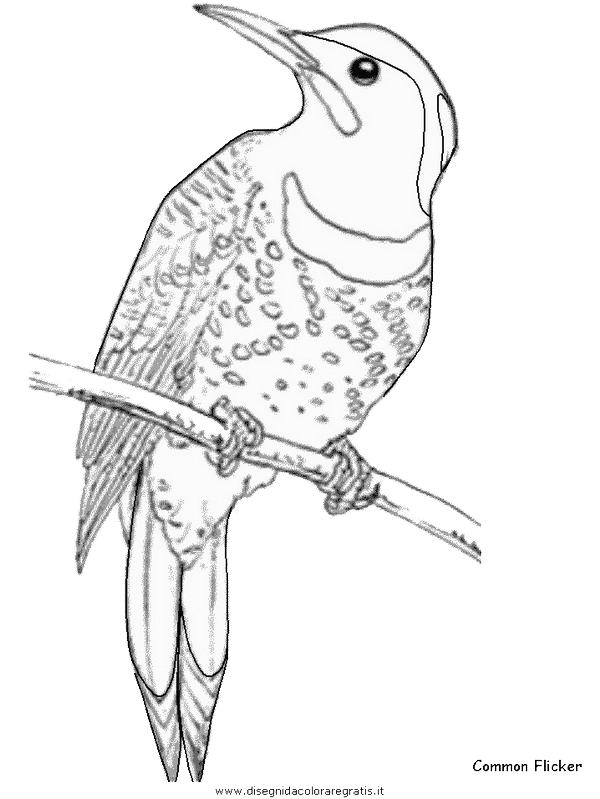 animali/uccelli/commonflicker.JPG