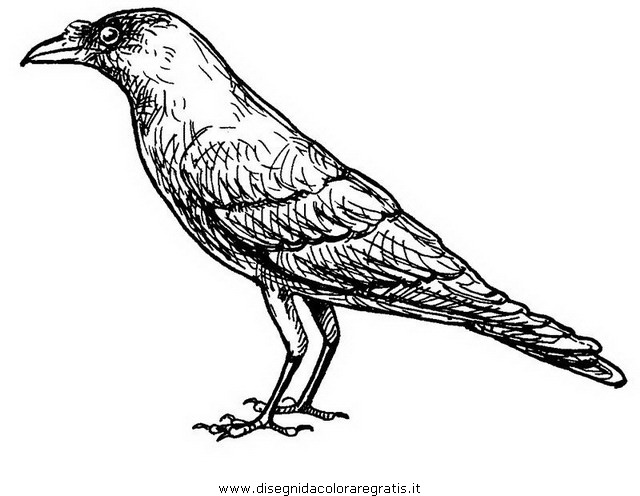 animali/uccelli/corvo_01.JPG