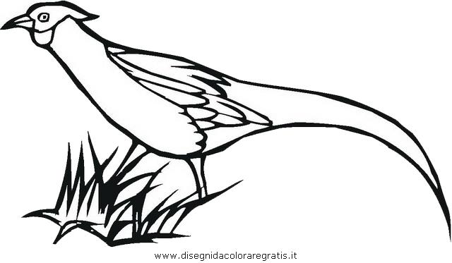 animali/uccelli/fagiano_fagiani_3.JPG