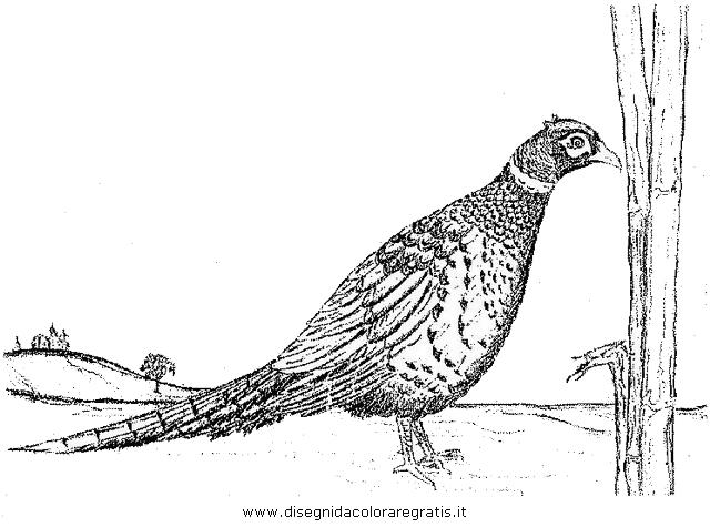 animali/uccelli/fagiano_fagiani_6.JPG