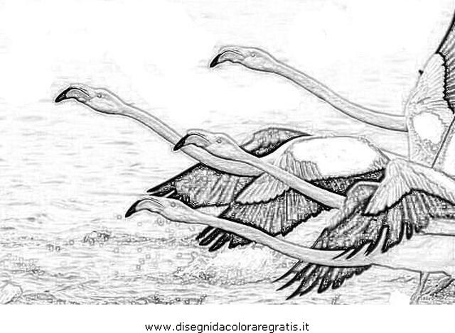 animali/uccelli/fenicotteri_31.JPG