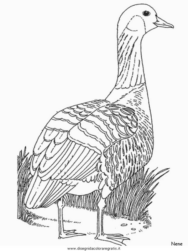 animali/uccelli/nene.JPG