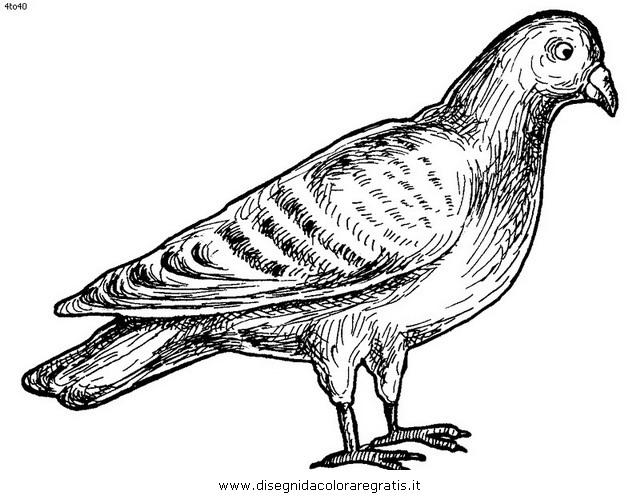 animali/uccelli/piccione_colombo_03.JPG