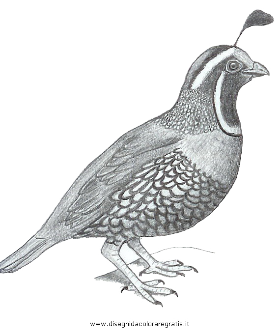 animali/uccelli/quaglia_09.JPG