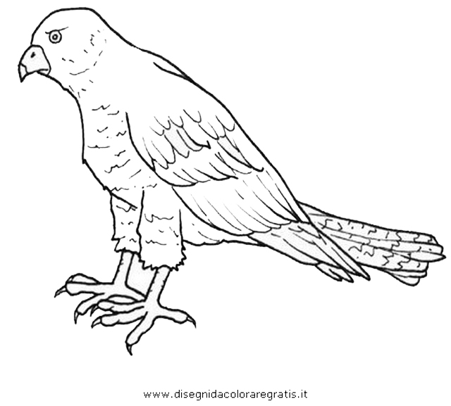 animali/uccelli/sparviero.JPG