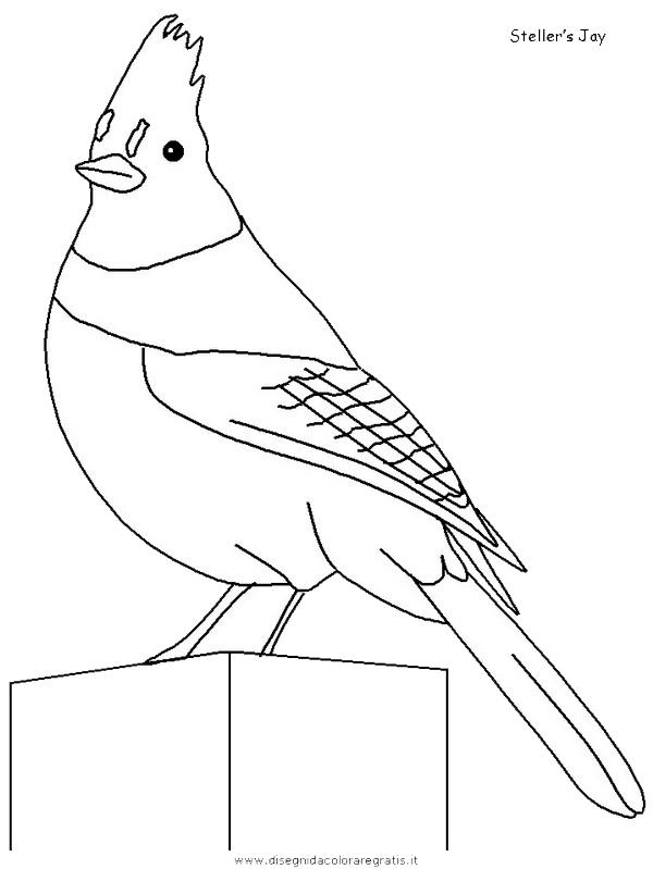 animali/uccelli/stellersjay.JPG