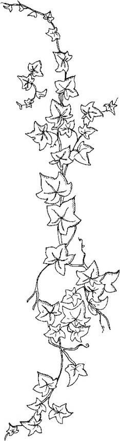 misti/giardino/ivy.JPG