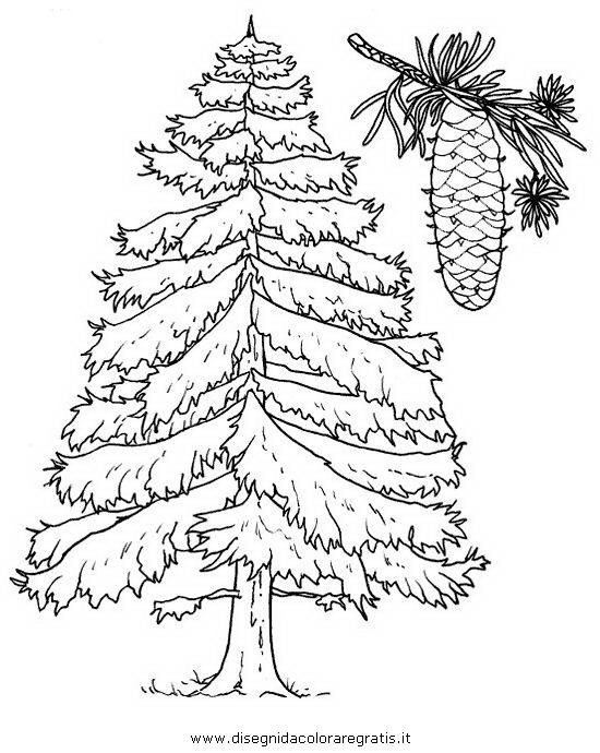natura/alberi_speciali/abete.JPG