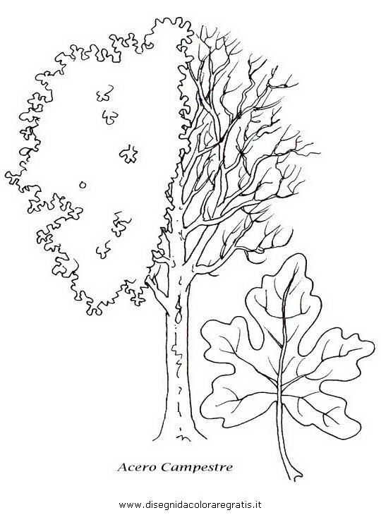 Disegno acero categoria natura da colorare for Foto di alberi da colorare