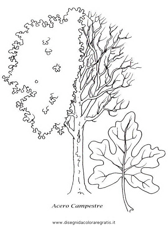 natura/alberi_speciali/acero.JPG