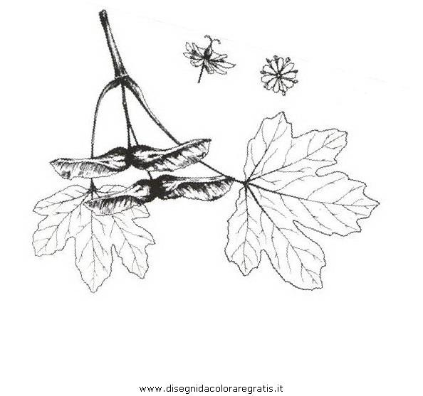 natura/alberi_speciali/acerocampestre.JPG