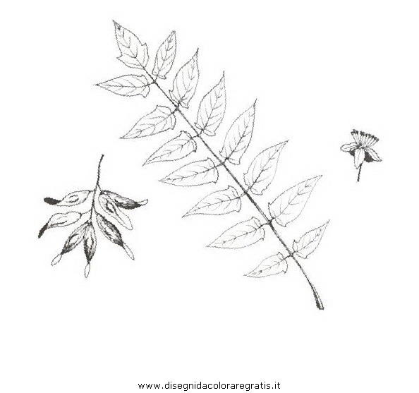 natura/alberi_speciali/ailanto.JPG