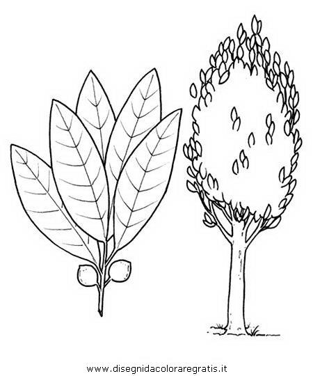 natura/alberi_speciali/alloro.JPG