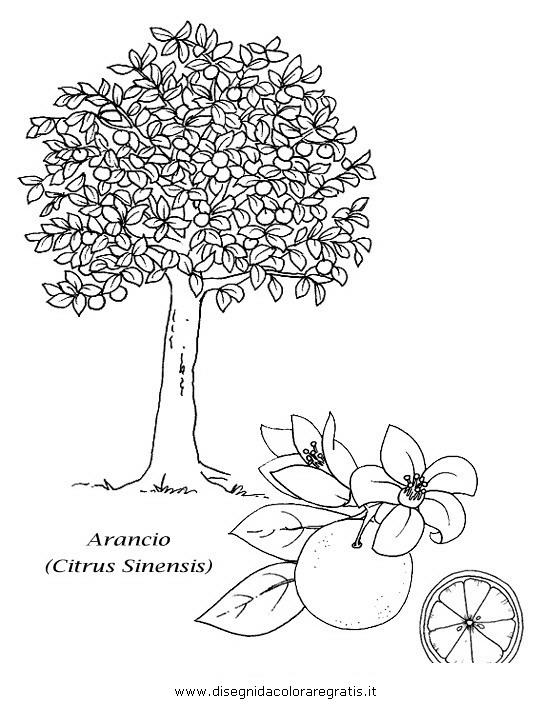 natura/alberi_speciali/arancio.JPG