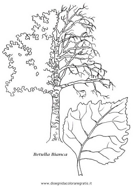 natura/alberi_speciali/betullaB.JPG
