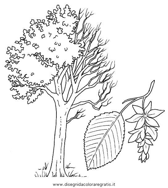 Disegno carpino categoria natura da colorare for Foto di alberi da colorare