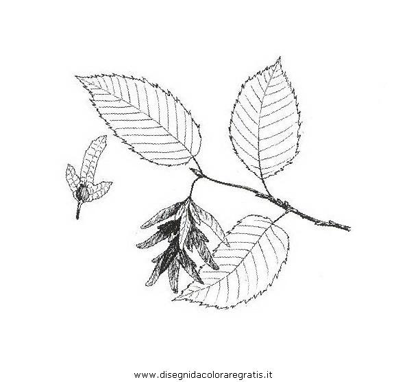 natura/alberi_speciali/carpinobianco.JPG