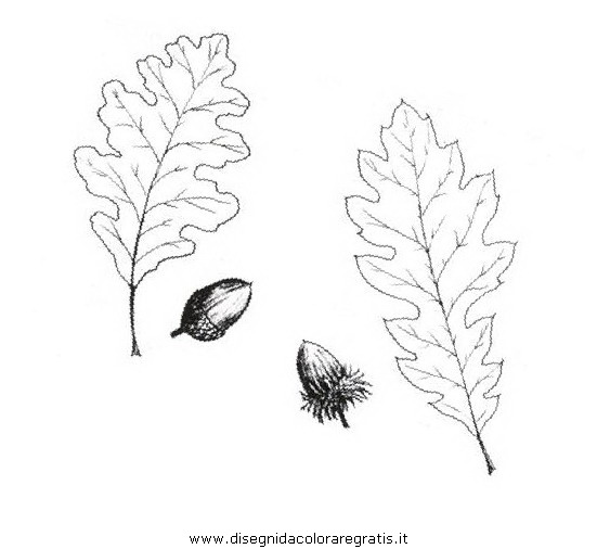 natura/alberi_speciali/cerro.JPG