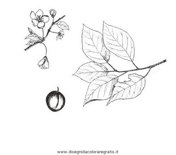 natura/alberi_speciali/ciliegiosusino.JPG