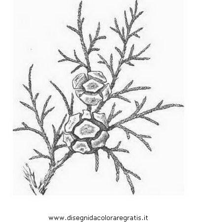 natura/alberi_speciali/cipresso_2.JPG