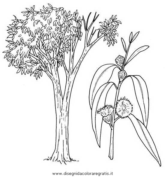 natura/alberi_speciali/eucalipto.JPG