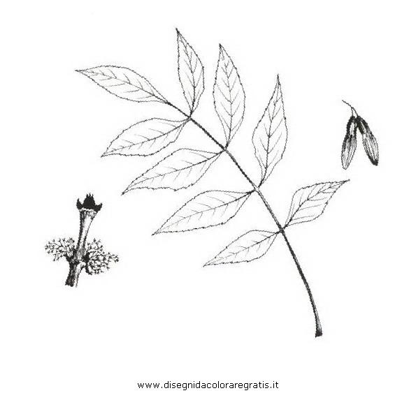 natura/alberi_speciali/frassinomaggiore.JPG