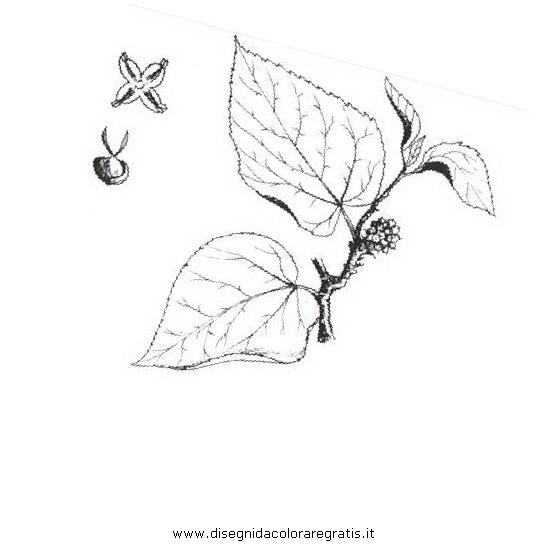 natura/alberi_speciali/gelsonero.JPG