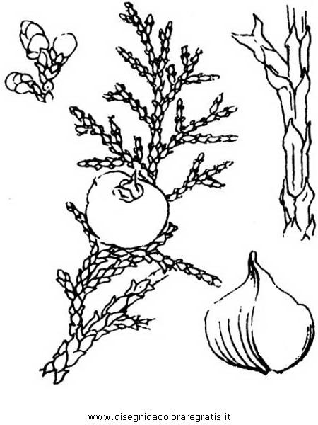 natura/alberi_speciali/ginepro_2.JPG